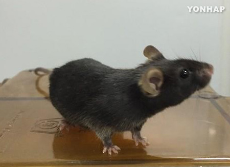 Rund um die Tiere des Östlichen Zodiak: Ratte