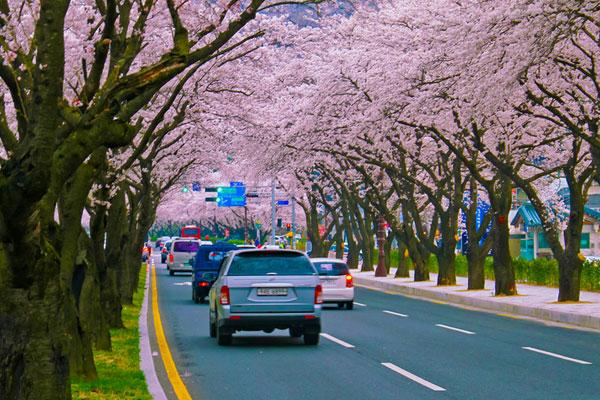 تراجع عدد السياح في موسم زهور الكرز بسبب الكرونا