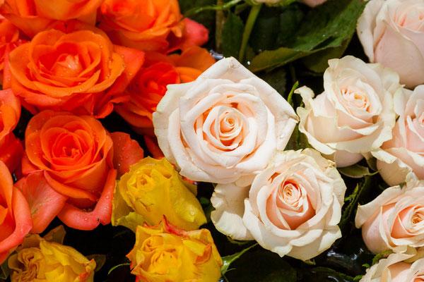 رتفاع محصول الورد بثلاثة أضعاف بفضل استخدام منزل التبريد الابداعي