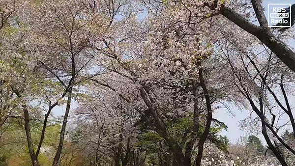 남이섬 벚꽃축제