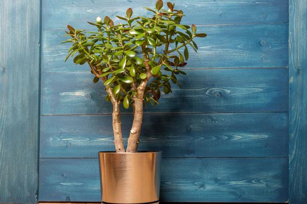 发财树应该怎么养