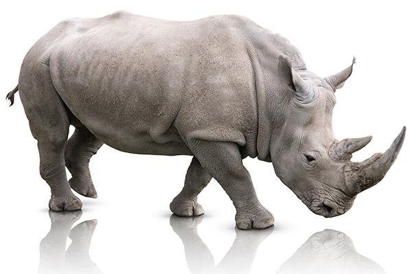 Le rhinocéros gris