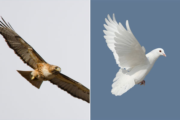 Colombes et faucons