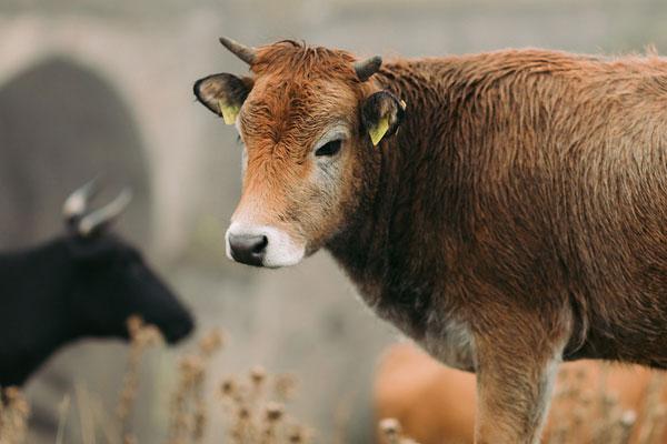 البقرة السوداء والبقرة البنية