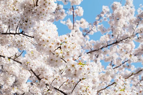 Les cerisiers en fleurs sont les stars du printemps au pays du Matin clair