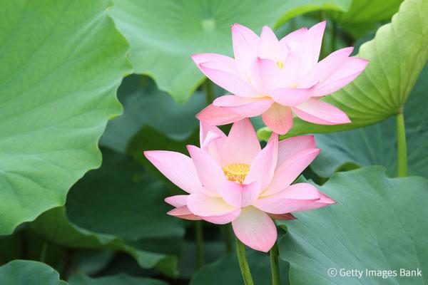 Le festival des lotus