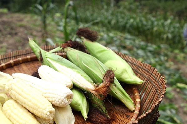 Le maïs (I)