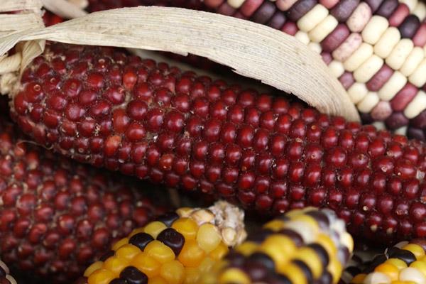 Le maïs (II)