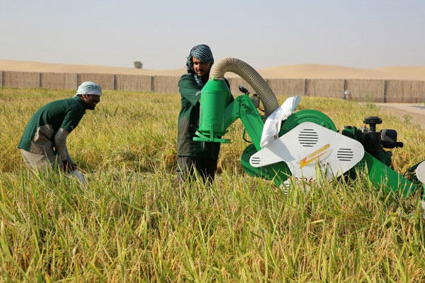 نجاح زراعة الأرز الكوري في صحراء الإمارات