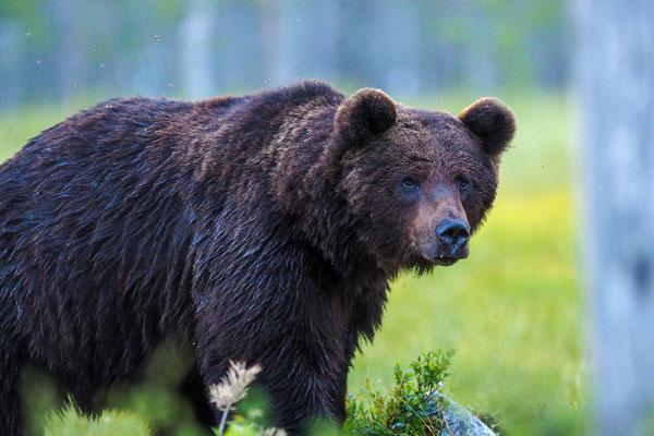 곰, 미련하다