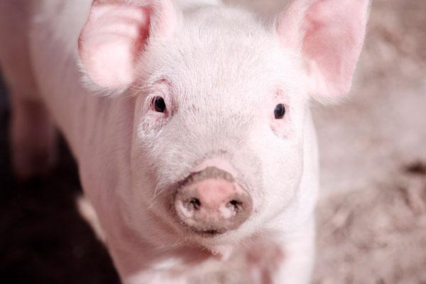 '돼지' 관련 속담