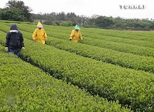 Le thé vert préviendrait le cancer du colon