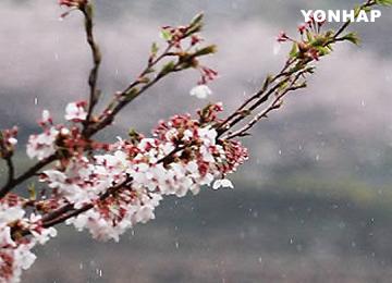 ソウル・ヨイドの桜祭り 来月1日~9日