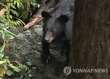 Asiatic Black Bears and Foxes Indigenous to Korea Give Birth