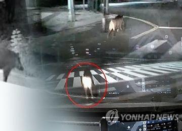 부산 도심에 멧돼지 또 출현···실탄 쏴 포획