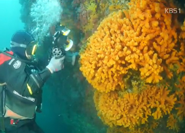 Largest Colony of Rare Coral Found in Dokdo