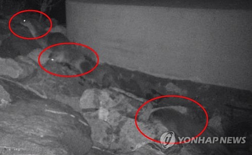 Endangered Otters Found in Han River in Seoul