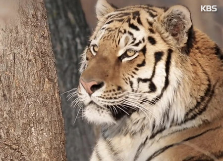 Siberian Tigers Find New Home in Gyeongsang Arboretum