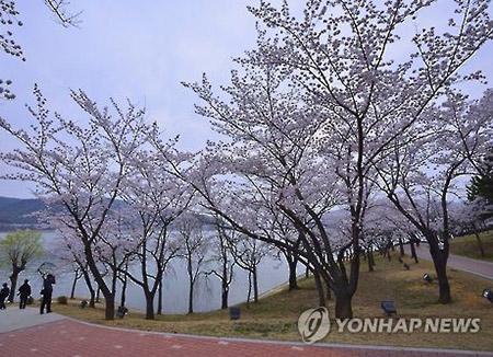 ソウル 桜が開花