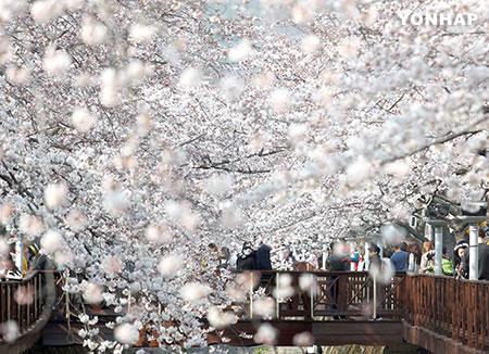 桜の開花去年より早まる 鎮海軍港祭は今週末から