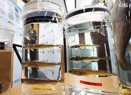 絶滅危機のタラ 15万匹を東海に放流