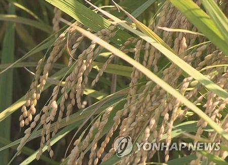 В КНДР сократился объём производства зерновых