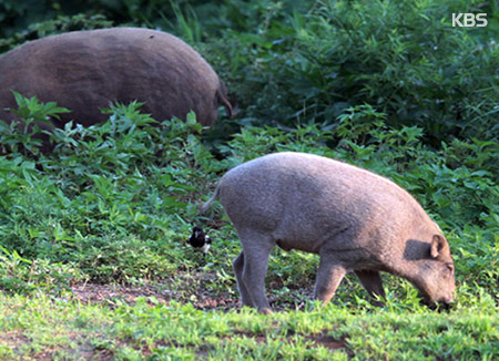 Sightings of Wild Boars in Seoul Soar over 5 Years