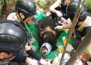 First 3rd-Generation Asiatic Black Bear Discovered on Mt. Jiri