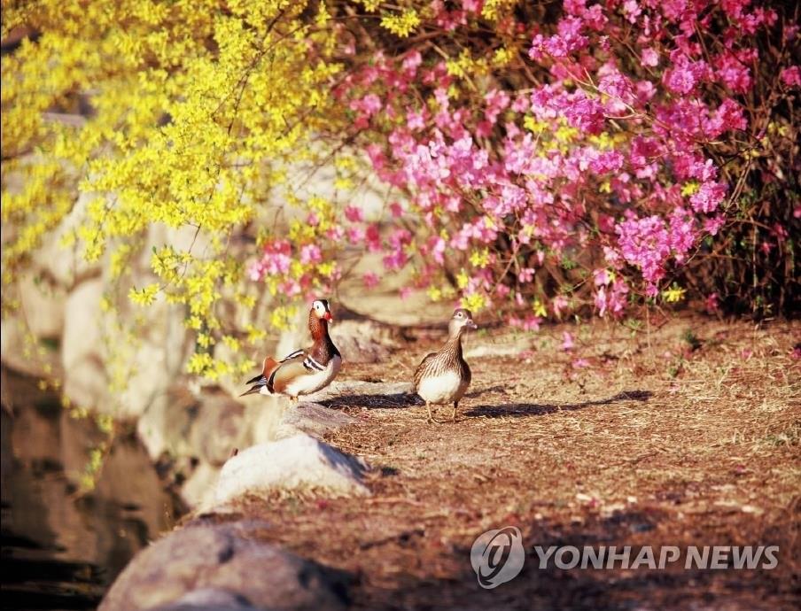 春の花の開花が平年より早まる ソウルは来月24日頃