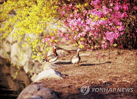 Цветение форзиции и азалии начнётся в середине марта