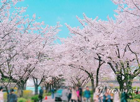 桜の開花 中部地方は平年よりやや早めに