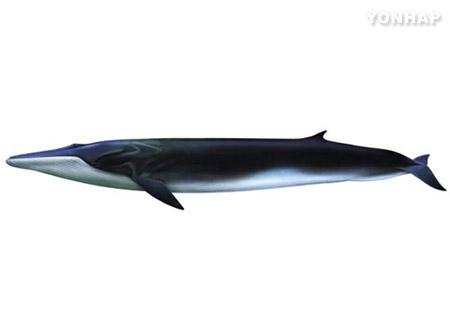 해수부, '길이 14m' 초대형 참고래 실물표본 만든다