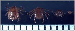 Deadly Tick-borne Virus Causes Seven Deaths