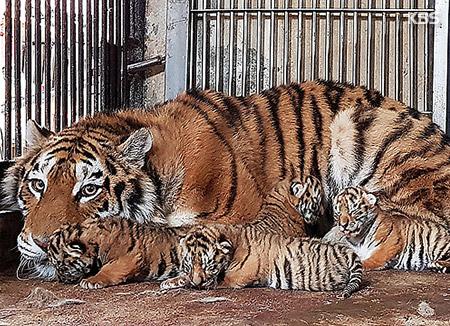 シベリアトラの赤ちゃん4匹誕生 ソウル大公園