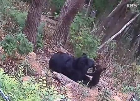 Des chercheurs sud-coréens sont parvenus à féconder une ourse par insémination artificielle