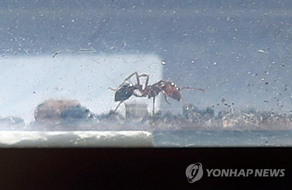 Mehrere Funde der Roten Feuerameise in Südkorea