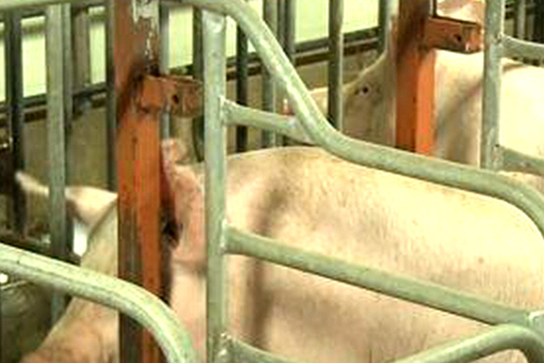 Gov't Vows to Block Entrance of African Swine Fever into S. Korea