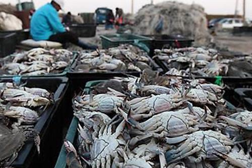 올해 연평도 꽃게 어획량 35% 감소