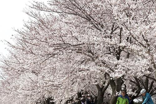 桜の開花 例年より早くソウルでは4月3日から