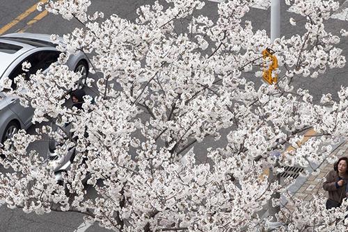 今年樱花季将提前来临