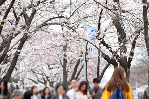 15th Yeouido Spring Flower Festival to Begin Next Week