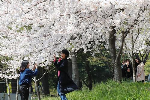 Dự báo hoa anh đào nở sớm hơn mọi năm từ ba đến chín ngày
