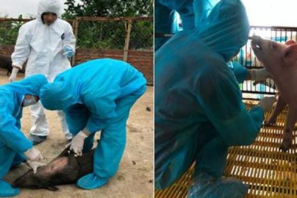 Koreanische Forscher bestätigen China als Herkunftsland von Schweinepest in Vietnam