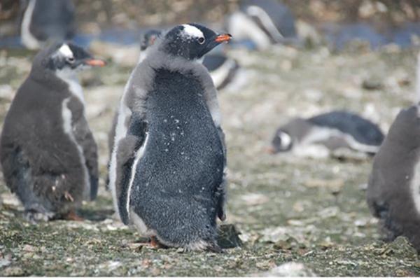 극지연구소, 펭귄의 깃갈이 단식행동과 분변 미생물의 관계 규명