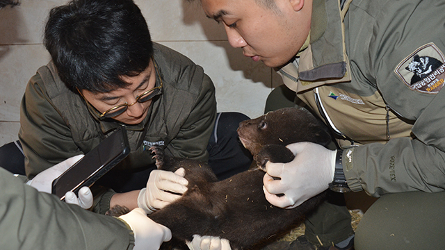 Asiatic Black Bears Give Birth Again by Artificial Insemination