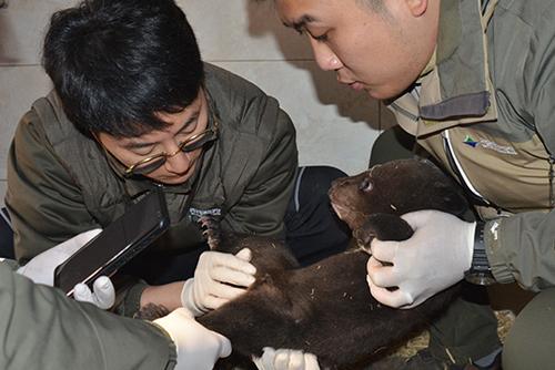 Asiatische Schwarzbären gebären erneut durch künstliche Befruchtung