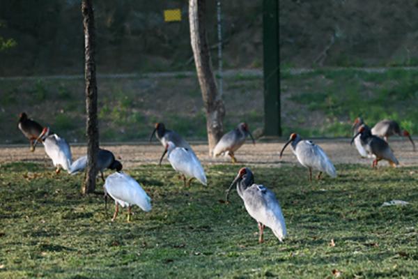 絶滅のトキ40羽を放鳥 慶南・昌寧郡