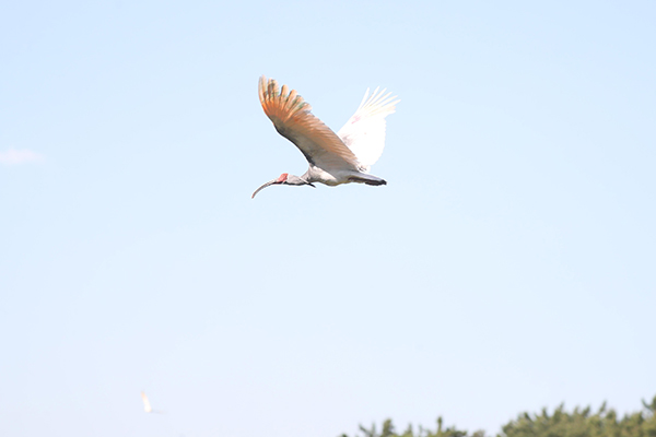 S. Korea Releases 40 Crested Ibises to Help Biological Diversity
