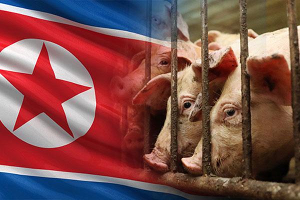 Bắc Triều Tiên tích cực đối phó dịch tả lợn châu Phi