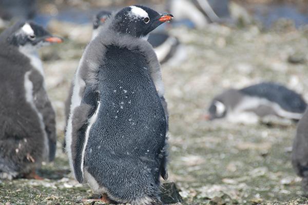 """韩政府推进在南极设置第二个""""企鹅村"""""""